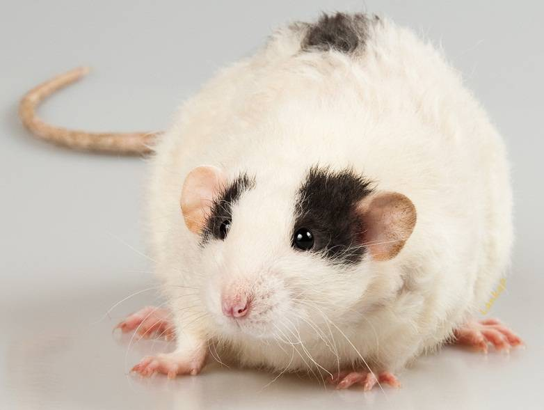 Виды крыс