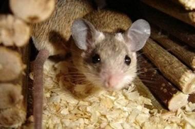 Какой утеплитель не будут грызть мыши и крысы