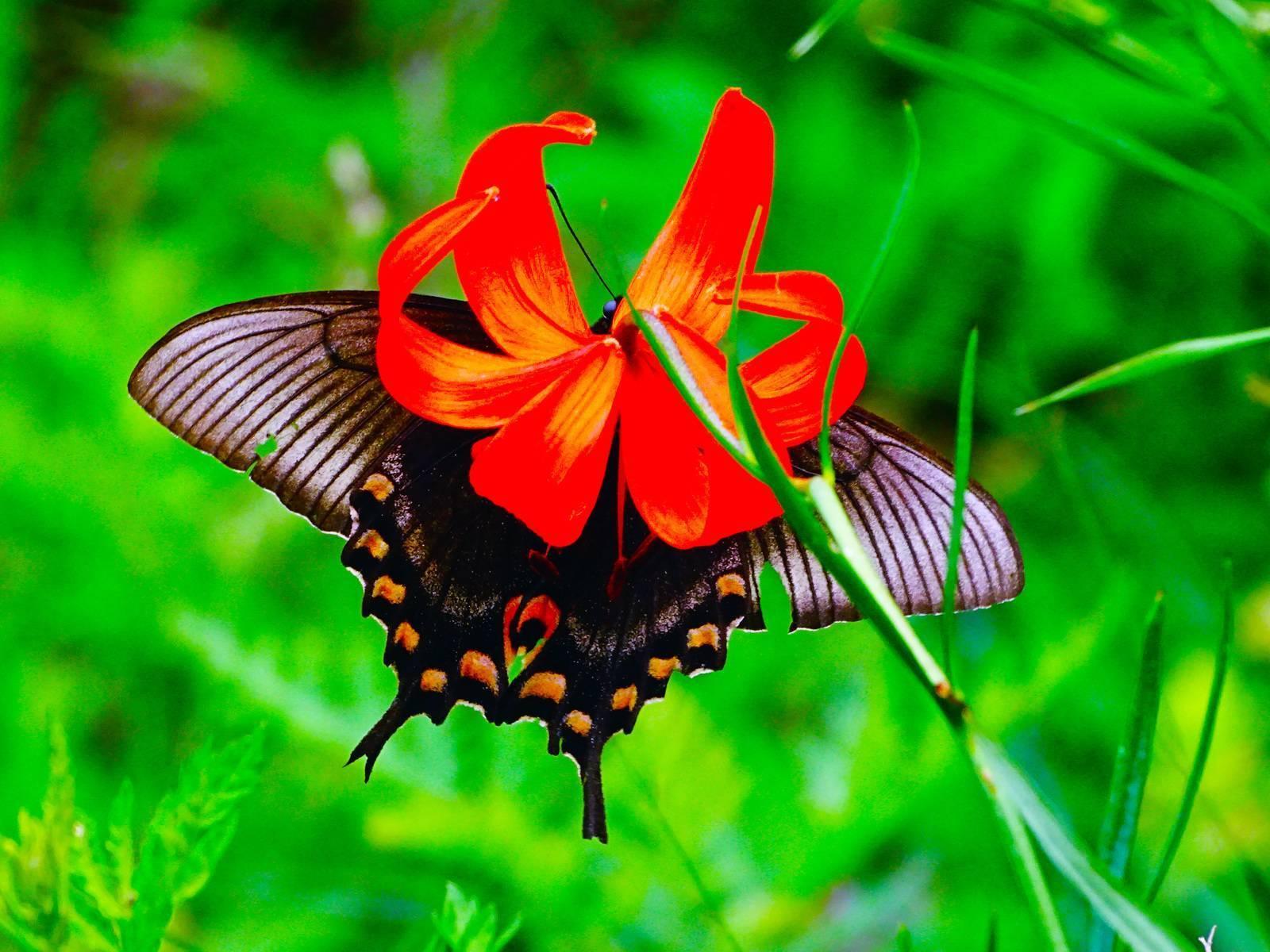 Парусник-махаон - самая красивая наша бабочка и ее гусеница. бабочка махаон: описание, интересные факты для детей. что любят бабочки махаон в домашних условиях, сколько живут? какого цвета бывают бабочки махаоны: фото