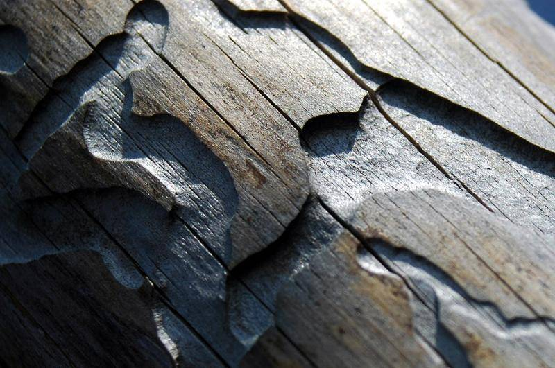 Короед шестизубый— как защитить сосны от вредителя
