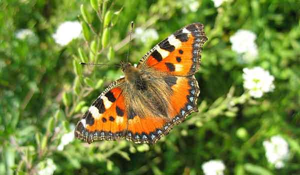 Доклад-сообщение бабочка-лимонница описание для школьников 2 класса