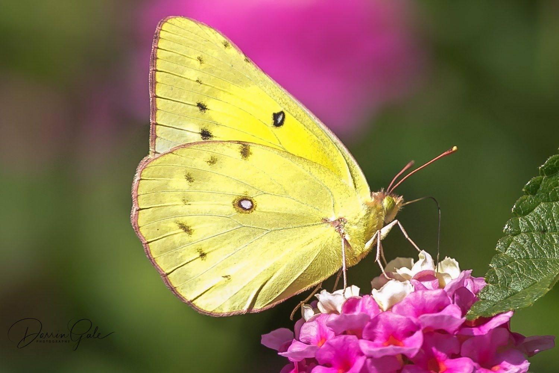 Желтушка луговая. бабочка желтушка луговая – любительница клевера и люцерны. необходимые и дополнительные меры охраны