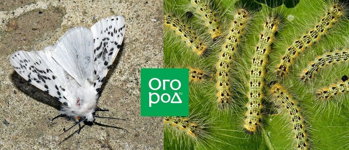 В 2020 году американская белая бабочка вернётся в курскую область