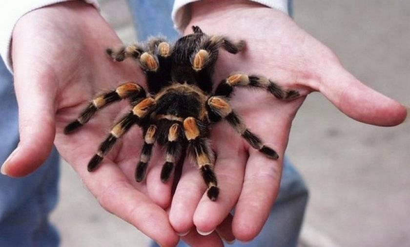 Экзотические домашние питомцы: паук-птицеед