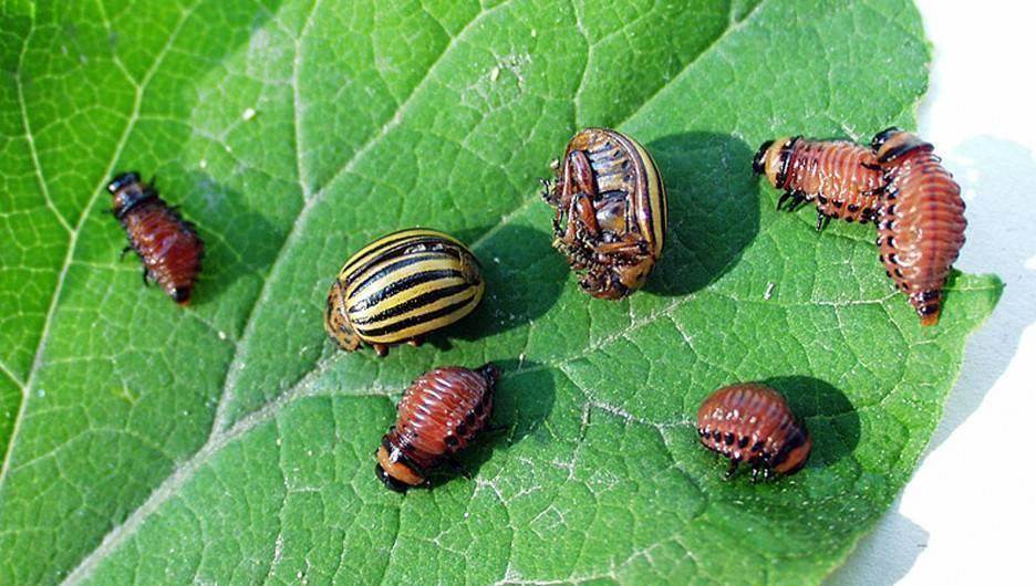 Эффективные методы и препараты для борьбы с колорадским жуком на картофеле