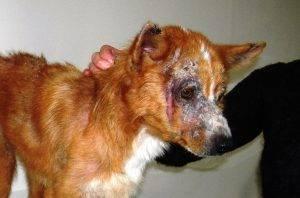 Шишка после укуса клеща у собаки - как помочь питомцу