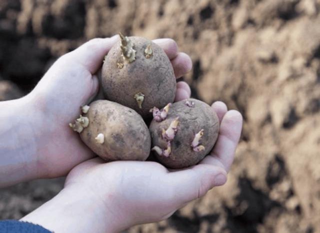 Картофель: обработка перед посадкой