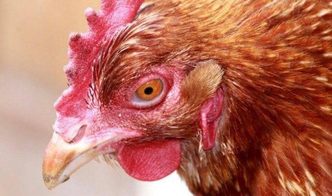 Что делать, если у курицы завелись вши или блохи?