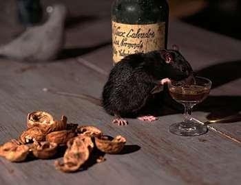 Что делать, если укусила крыса серая или домашняя