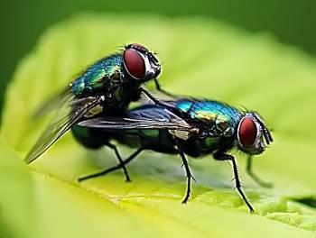 Размножение мух: органы размножения, выкладка яиц, развитие личинок и жизненный цикл