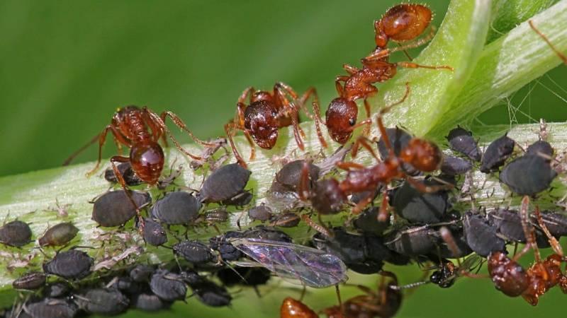 Как уничтожить муравьев огороде при помощи уксуса