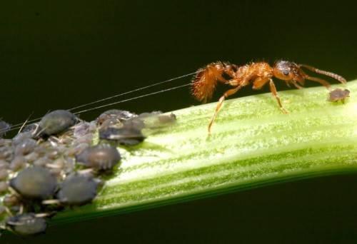 Симбиоз муравьев и тли