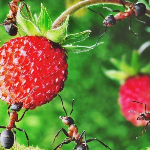 Как избавиться от муравьев при помощи манки