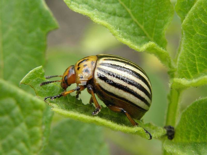 Колорадский жук на помидорах: способы борьбы
