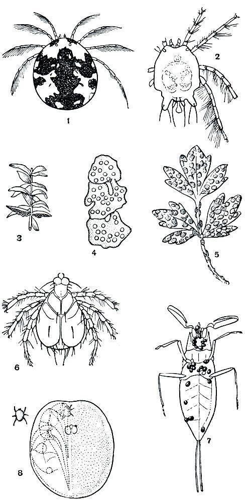 Размеры всех видов клещей