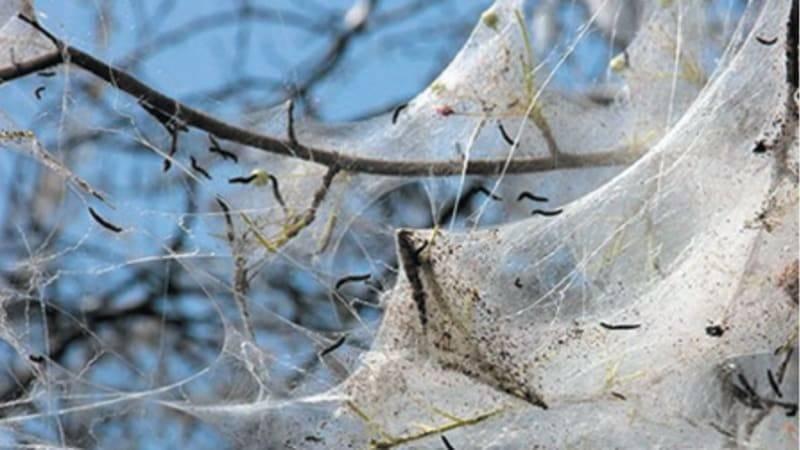 Яблонная горностаевая моль, описание. фото, чем опасна, меры борьбы. профилактика