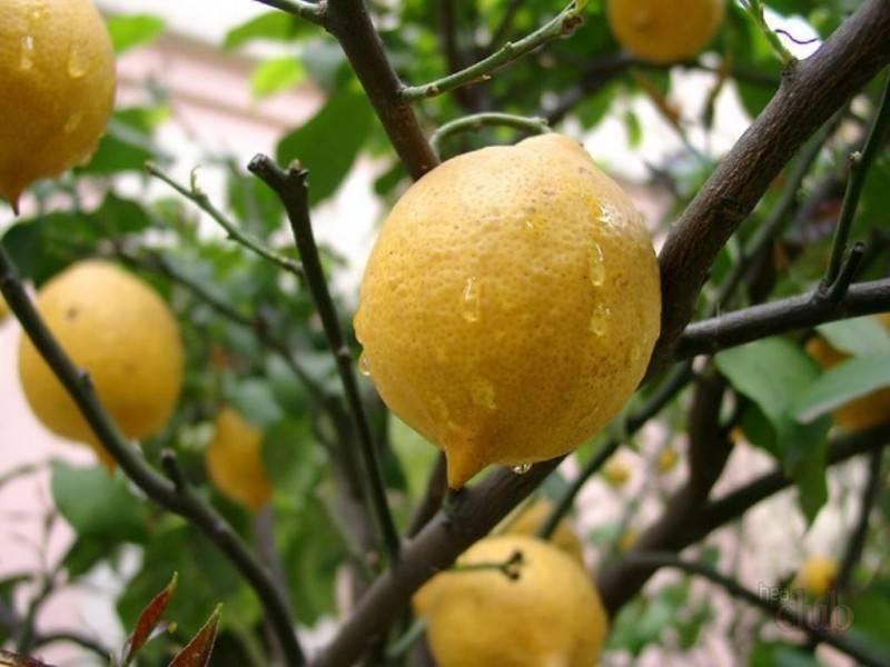 Как избавиться от щитовки на лимоне своими силами