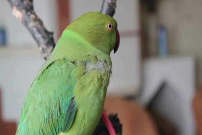 Всё о болезнях клюва у волнистых попугаев