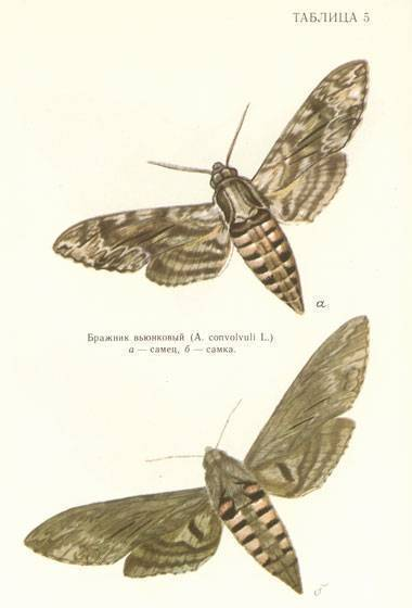 Самая крупная ночная бабочка в мире. бражник тополевый – ночная бабочка, которая не ест