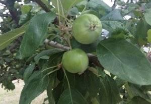 Как бороться с тлей на плодовых деревьях