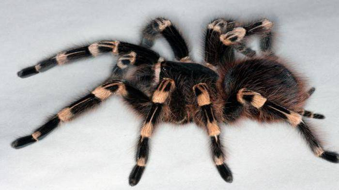 Укус тарантул