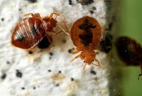 Мелок «машенька» от тараканов: отзывы