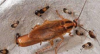 Тараканы прусаки