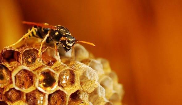 Укус осы, какую помощь необходимо оказать пострадавшему