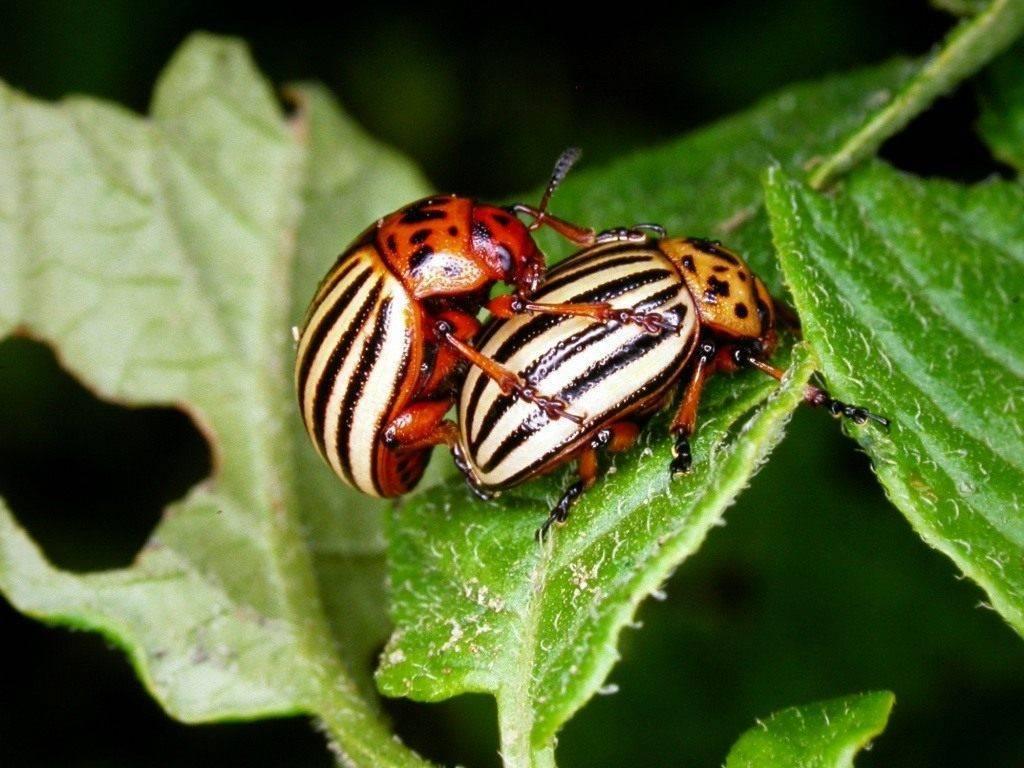 Колорадский жук: методы борьбы и средства для уничтожения