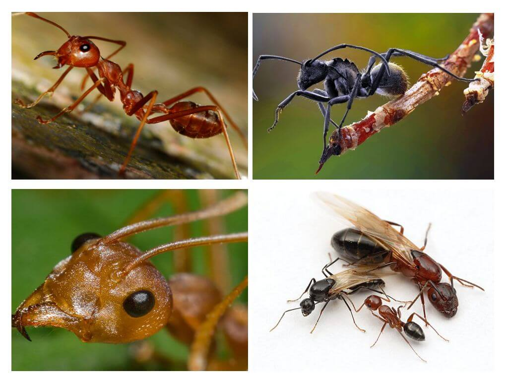 Муравьи: описание иерархии и их жизни в муравейнике