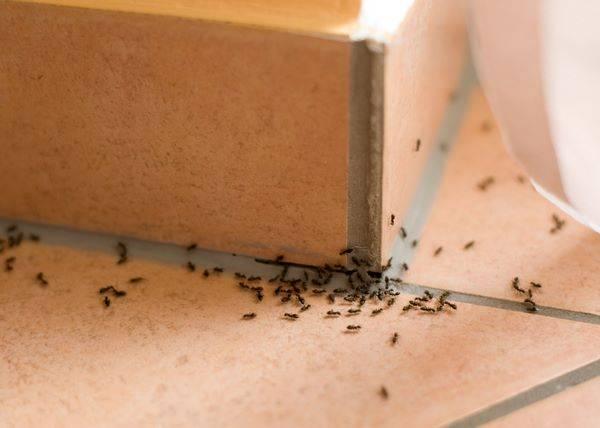 Как избавиться от рыжих муравьев в квартире