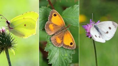 Голубянка – бабочка с необычной окраской. голубянка бабочка. образ жизни и среда обитания бабочки голубянки