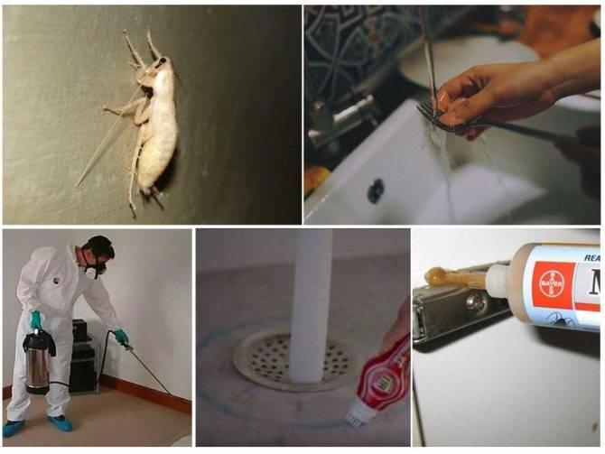 Белый таракан в квартире: что это и чем опасен