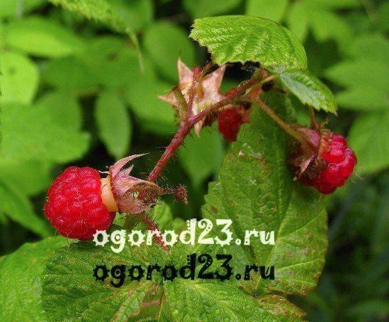 Описание болезней и вредителей малины