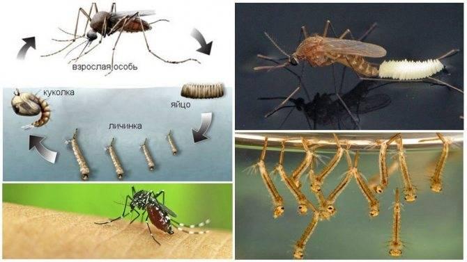 """Почему комары видят нас в темноте. как видят комары и что их привлекает к человеку. происхождение слова """"комары """""""