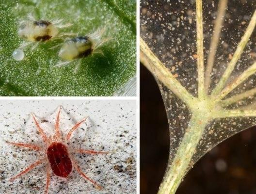 Чем обработать теплицу от паутинного клеща осенью, чтобы у вредителя не осталось шансов