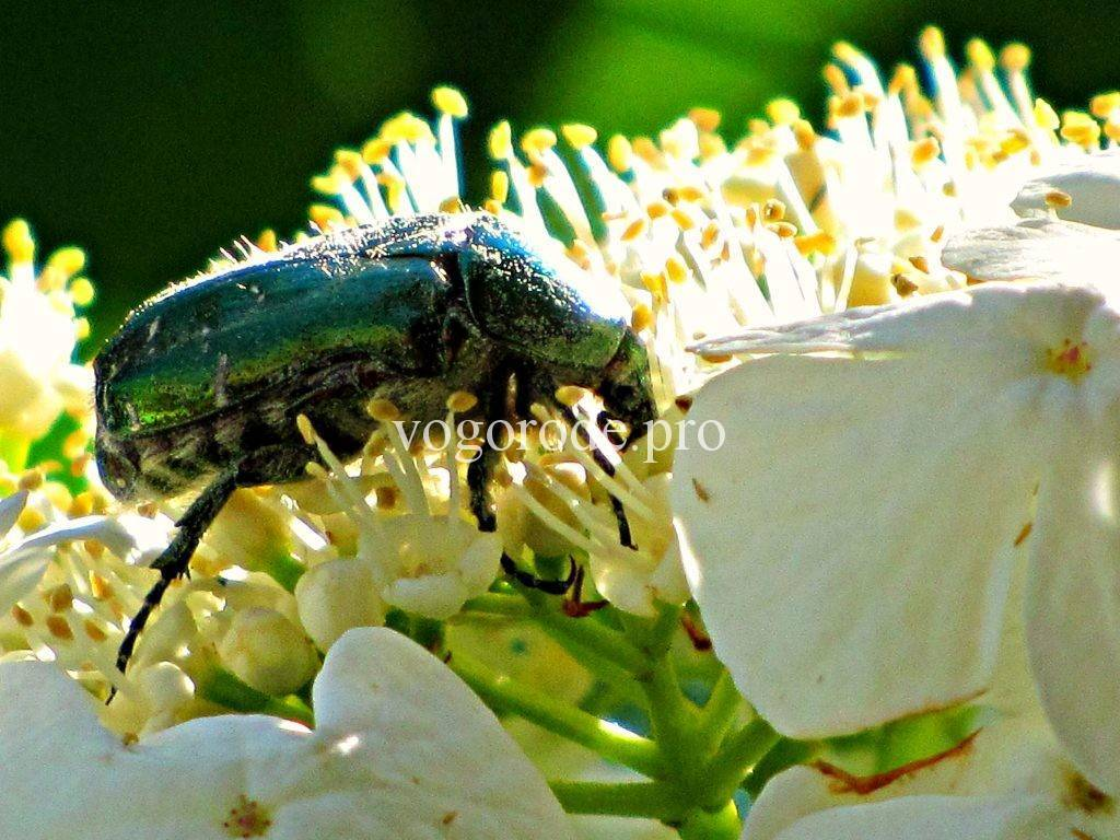 Как отличить личинки медведки и майского жука