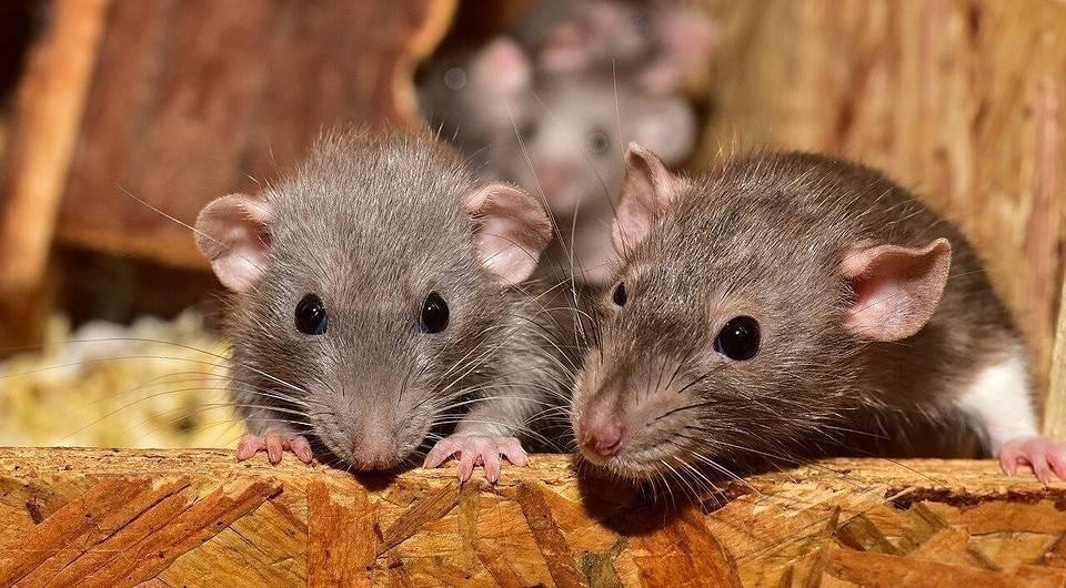 Избавляемся от мышей на даче навсегда