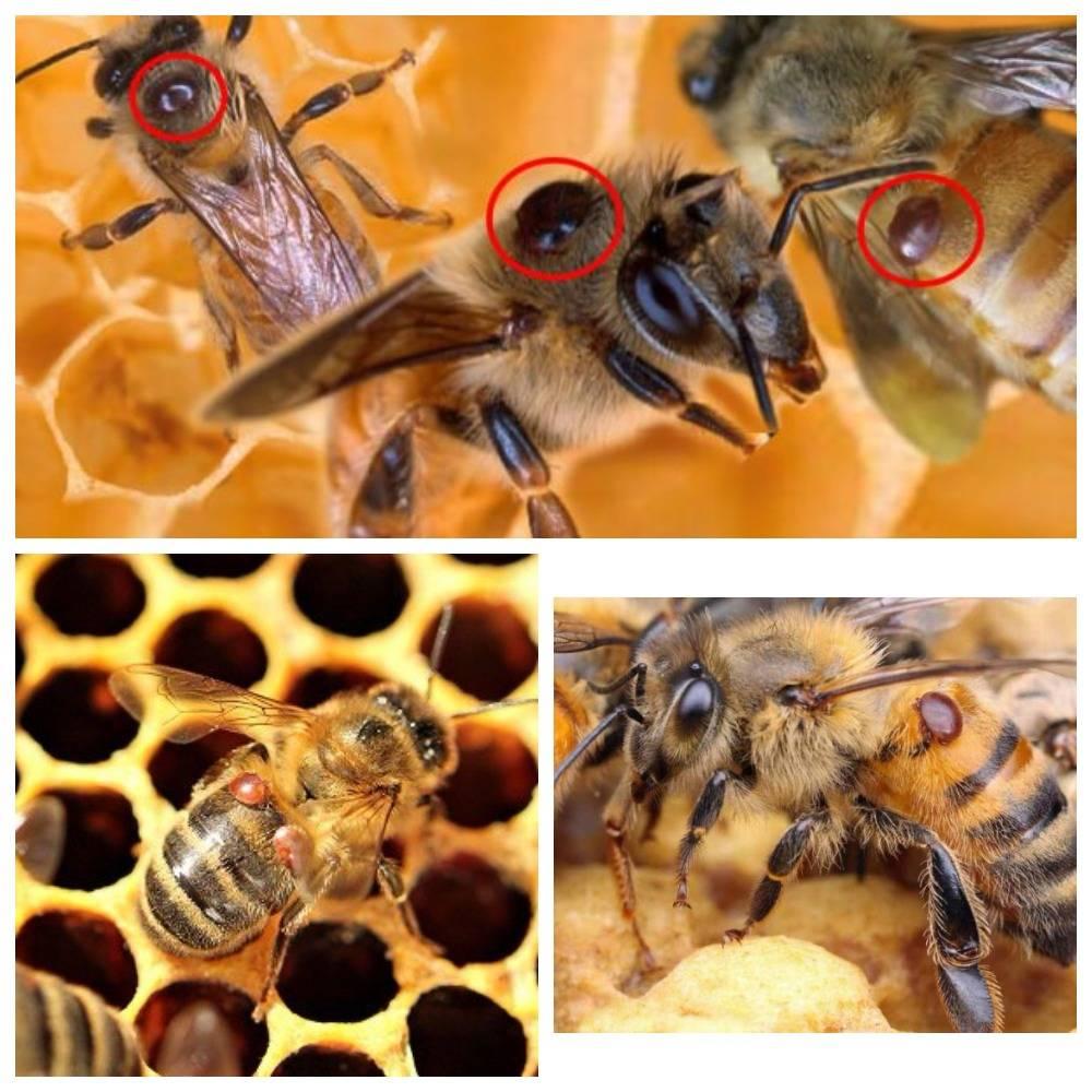 Как лечить пчел от варроатоза? можно ли предотвратить заболевание?