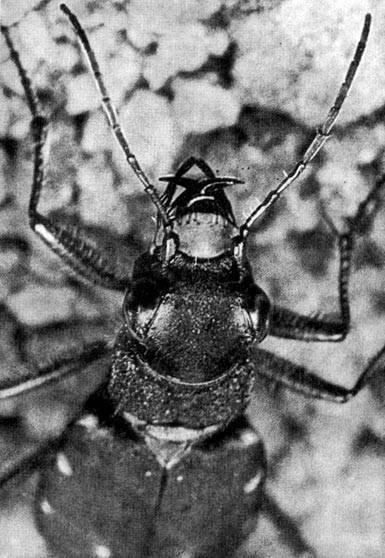 Жук плавунец окаймленный— безжалостный хищник и его потомство