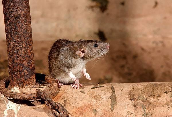 Борьба с крысами и мышами: самые действенные методы