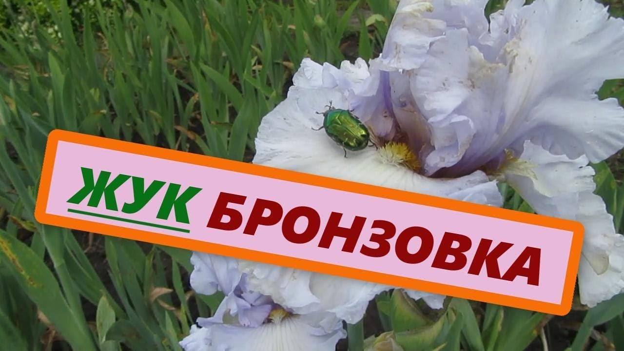 Оленка мохнатая методы борьбы. оленка мохнатая – цветоед в саду и на клумбе