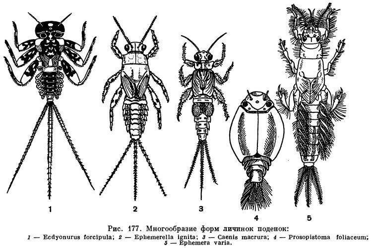 Школьный атлас-определитель насекомых. стрекоза большое коромысло – истребитель кровососущих насекомых на суше и в воде большое коромысло