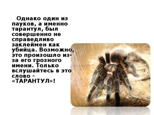 Паук тарантул — удивительно страшный и прекрасный