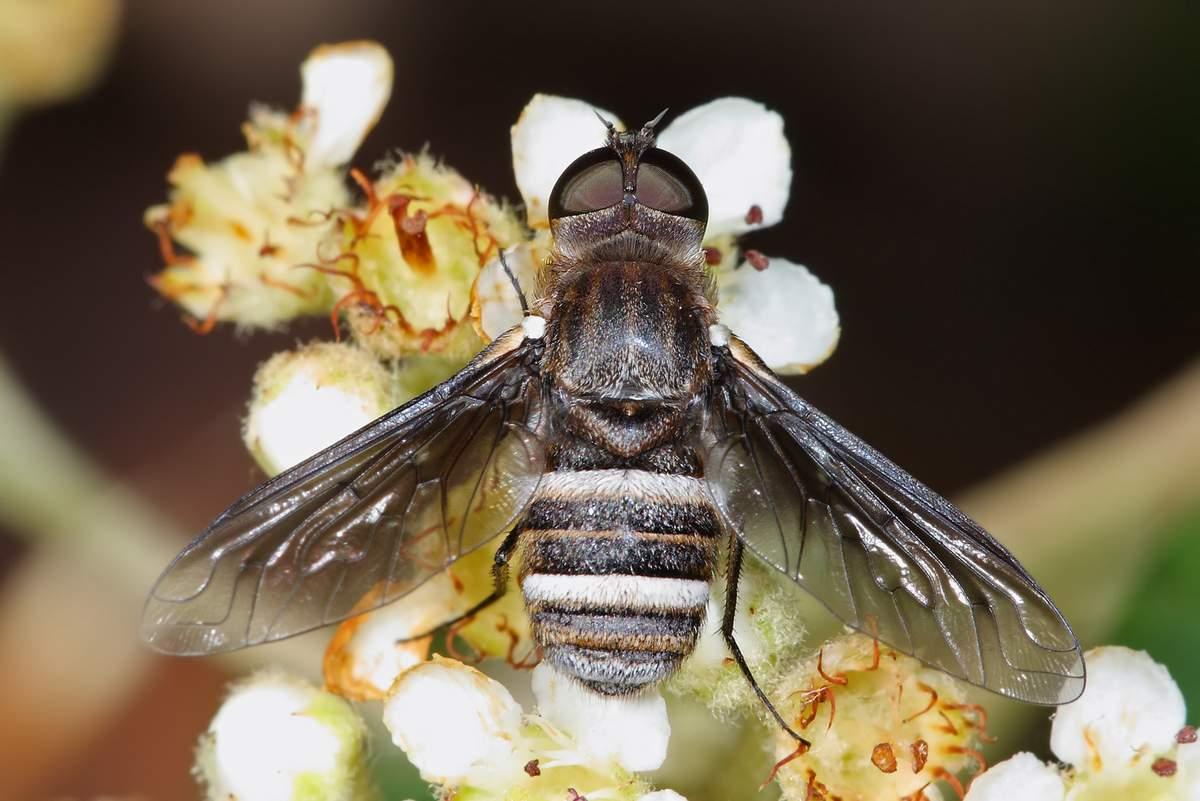 Как живёт и размножается комнатная муха