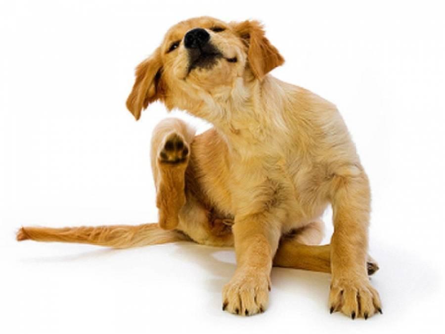 «бравекто»: с какого возраста можно и как давать собаке