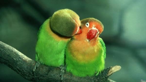 Ваш пернатый друг суетлив как никогда? блохи у попугаев: обнаружение и лечение