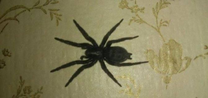 Большой белый паук