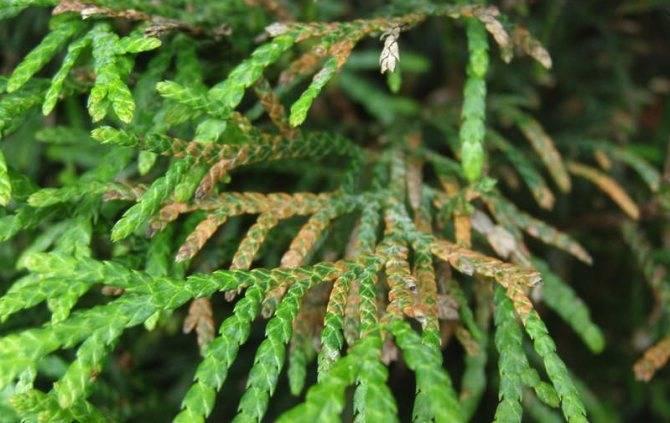 Щитовка на комнатных растениях - как избавиться, химические препараты и народные методы