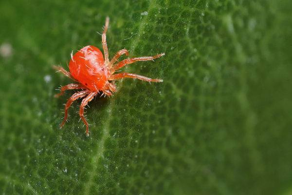 Красный паутинный клещ: описание и способы борьбы
